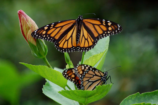 Secret Vistas: Migrating Monarchs…